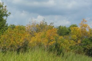 soap-berrry-trees